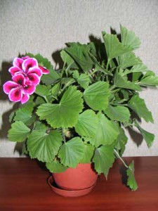 Royal-pelargonium